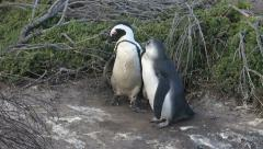 Dark feathered adult African penguin with bluish feathered chick outside burrow Stock Footage