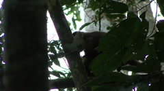 White-fronted Cappuchin feeding on coconut Stock Footage