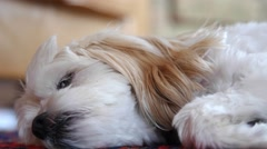 Little cockapoo dog resting on his colorful rug Stock Footage
