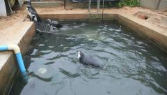 African Penguins swimming in pool at the Seabird and Penguin Rescue Centre Stock Footage