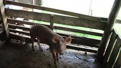 Large Black Pig eating at farm Stock Footage