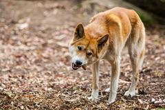 Eating Dingo - stock photo