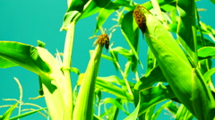 Two cobs on stalk.Corn field in august, tilt. Stock Footage