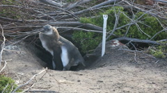African penguin chick at entrance to burrow Stock Footage