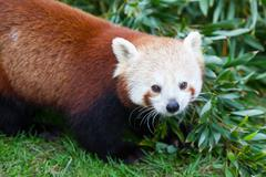 Nepalese Red Panda Stock Photos