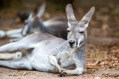 Resting Kangaroo - stock photo