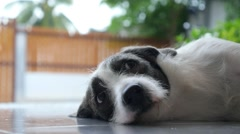 Sad Dog Lying and Resting Outdoor while Raining - stock footage