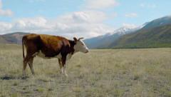 Cow walking between mountains Stock Footage