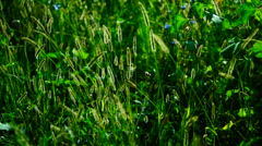 Wild grasses ,fluffy weeds in a meadow, in sun, with wind Stock Footage