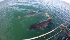Two great white sharks pass cage diving boat Stock Footage