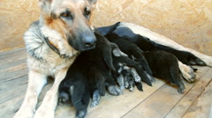Large adult dog Shepherd feeds its puppies Stock Footage