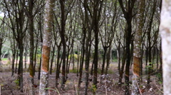 Panning rows of rubber trees on a plantation in Thailand. Stock Footage