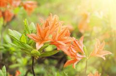 Rhododendrons and azaleas in the garden - stock photo
