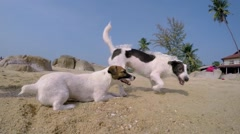 Two Dogs Playing at Beach in Summer Sunny Day Stock Footage