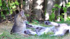 cats playing on farm garden summer grass - stock footage