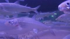 Fish Huge School Of Silver Fish Stock Footage