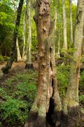 Bald Cypress trees in a bogg located at the First Landing State park in Virginia Stock Photos