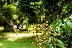 Longan orchards - Tropical fruits young longan in Lamphun, Thailand - stock photo