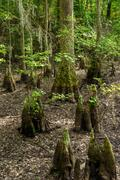 Bald Cypress knees located in the First Landing State Park which is located in V - stock photo