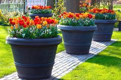 Red-yellow tulips in big flowerpots in spring park. - stock photo