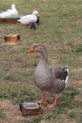 greylag goose  in the animal farm - stock photo