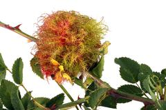 Rose stem wasp gall - stock photo