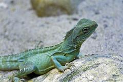 Stock Photo of agama