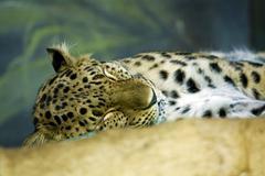 Panther Stock Photos