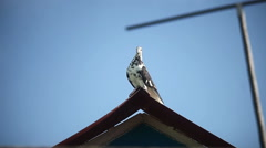 Blue dove spotted sitting on the roof against the blue sky the outside video Stock Footage