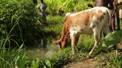 A cow in Africa drinking from a previosuly used water hole Stock Footage