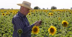 Agriculture Producer Tablet Check Sunflower Culture Crossing Farmland Field Crop Stock Footage