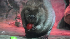 Hungry Beaver Eating Fruit Stock Footage
