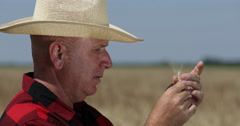 Farmland Wheat Crop Field Rancher Analyze Touching Wheat Ear Check Ripe Period Stock Footage