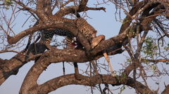 Leopard feeding on impala Stock Footage