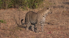 Leopard in morning sun Stock Footage