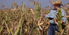 Agricultural Producer Farmer Inspect Maize Crop Corn Harvest Use Digital Tablet Stock Footage