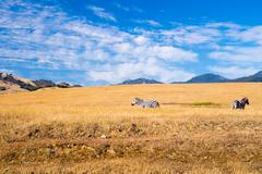 Two Zebra graze in California Coastal region - stock photo
