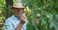 Agrarian Homestead Orchard Farmer Present Walnut Fruits Explain Ripe Conditions - stock footage