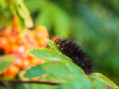 Fury dark brown caterpillar eating on a fresh green leaf - stock photo