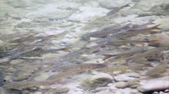 Fish swimming at clear nature river Stock Footage