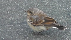 Juvenile wheatear standing on the ground, looking around Stock Footage