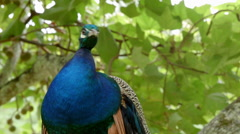 Peacock hanging out in tree Stock Footage