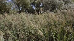 Phragmites Australis Leaves and Flowers - stock footage