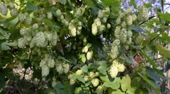 Humulus Lupulus Flowers, Also Called Hops - stock footage
