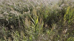 Phragmites Australis Leaves and Flowers Stock Footage
