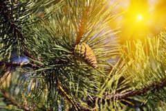 Pinus mugo backlit Stock Photos