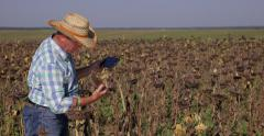 Stock Video Footage of Agronomist Farmer Man Walks Thru Sunflower Field Use Computer Tablet Check Note