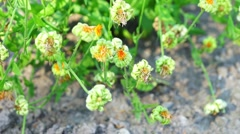 Withered Plant Flowers Stock Footage