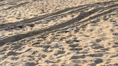 Pigeon foraging on sandy beach in late summer or late autumn Stock Footage