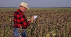 Farmer Person Walk Through Sunflower Field Farm Man Check Plants Write Clipboard Stock Footage